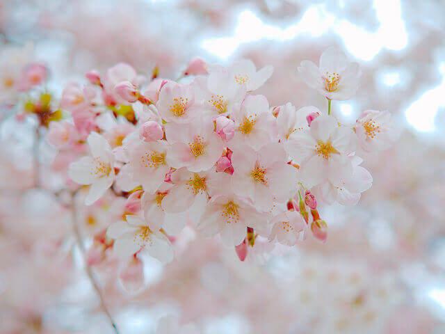クロスロードチャーチ岡山(キリスト教会)「写真部」活動の案内写真・桜の撮り方